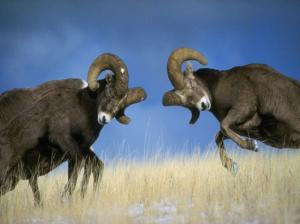 Rams_having_a_male_fight